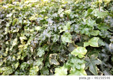 アイビー 観葉植物 ガーデニング Ivy Hedera Green Leaf 46150546