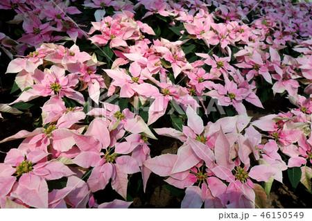 ポインセチア ピンク 花 Poinsettia Pink Flower 46150549