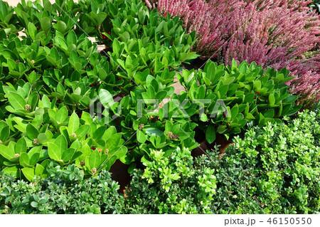 植物 緑 ピンクの花 Green leaf and Pink Flower 46150550