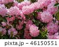 シャクナゲ ピンクの花 ガーデニング Rhododendron Pink flower 46150551