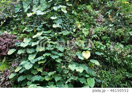 緑の壁 葉っぱ ガーデニング Green leaf Gardening 46150552