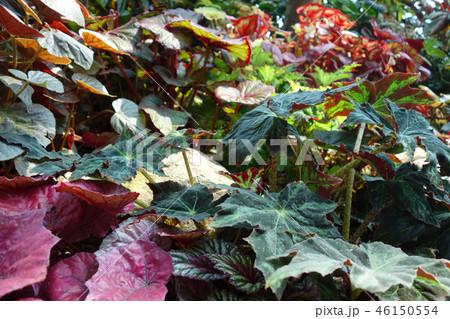緑の葉 赤い葉 ガーデニング Green leaf and Red leaf Gardening 46150554