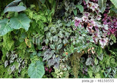 緑の壁 葉っぱ ガーデニング Green leaf Gardening 46150555