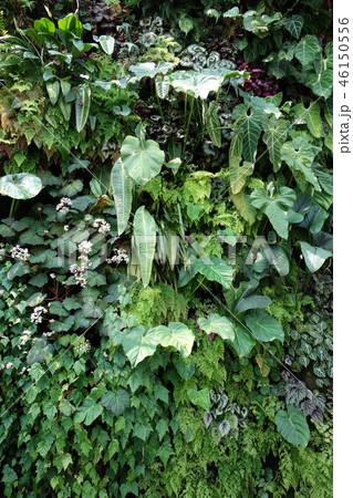 緑の壁 葉っぱ ガーデニング Green leaf Gardening 46150556