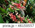 オンシジウム 赤い花 ガーデニング Oncidium Red flower 46150557