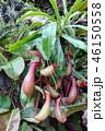 ウツボカズラ 食虫植物 緑 Nepenthes rafflesiana Jack Green 46150558