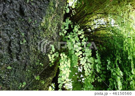 新緑 木の幹 自然 Green Tree Nature 46150560