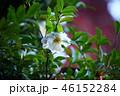 山茶花 46152284