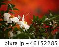 山茶花 46152285