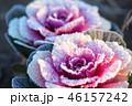 葉牡丹 冬 葉の写真 46157242