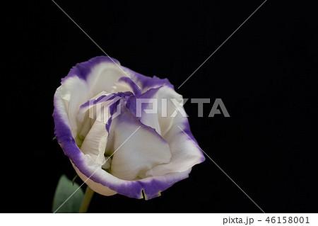 黒背景の紫色の縁取りのあるトルコキキョウ 46158001
