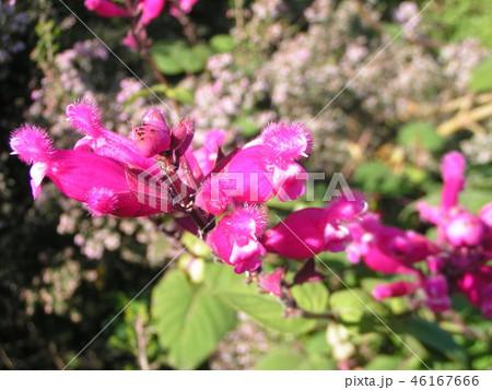 桃色の筒状花パイナップルセージの花 46167666