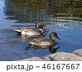 稲毛海浜公園の池に毎年来ている渡り鳥のオナガガモ 46167667