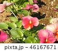 桃色のかわいい花は秋から咲くビオラの花 46167671