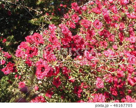 桃色の可愛い花はギョリュウバイ 46167705