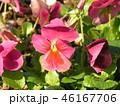 桃色のかわいい花は秋から咲くビオラの花 46167706