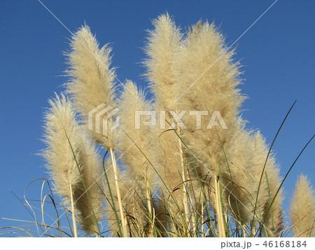 青空にパンパスグラスの白い花 46168184