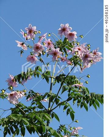 秋の青空を彩る背の高いダリアはコウテイダリア 46168185