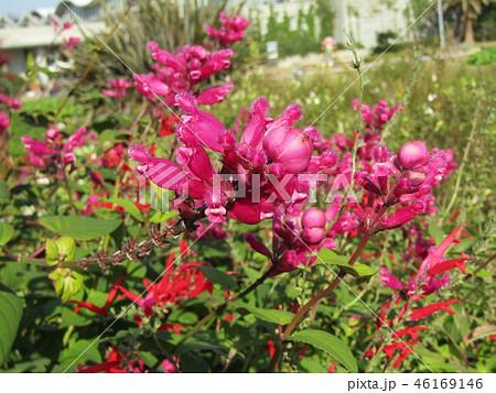 桃色の筒状花パイナップルセージの花  46169146