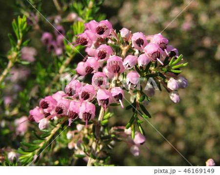 可愛い小さい桃色の花エリカ 46169149