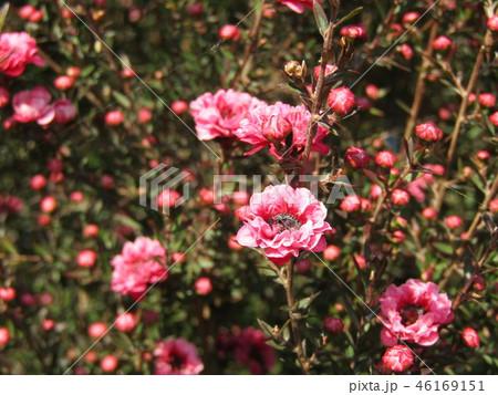 桃色の可愛い花はギョリュウバイ 46169151