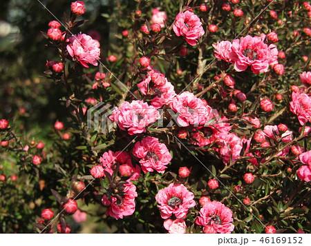 桃色の可愛い花はギョリュウバイ 46169152