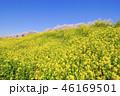 桜 菜の花 春の写真 46169501