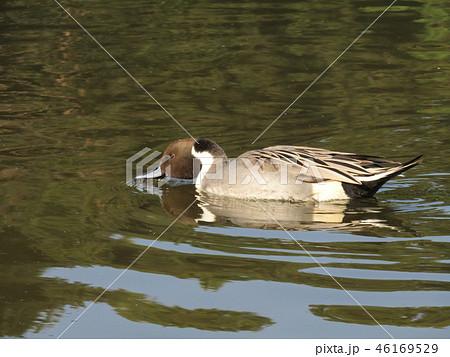 今年も来ました冬の渡り鳥オナガガモ 46169529