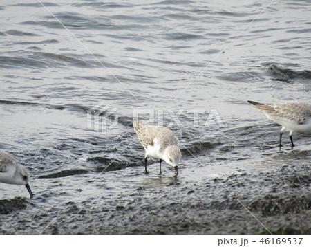 検見川浜の海岸で採餌するミユビシギ 46169537