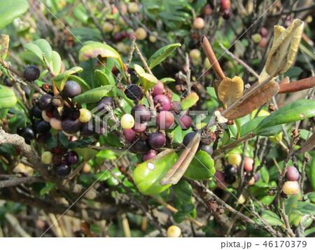 海岸植物ハマヒサガキの実の色は多色です 46170379