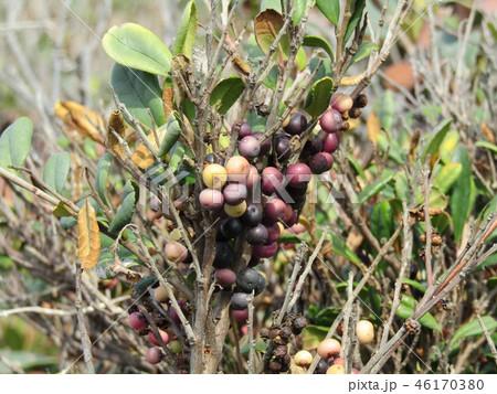 海岸植物ハマヒサガキの実の色は多色です 46170380