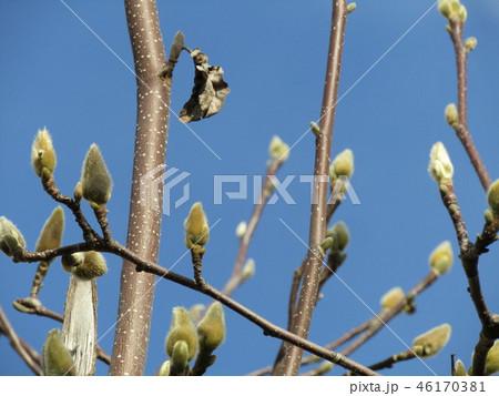 青空に大きい白色の花を咲かすモクレンの蕾 46170381