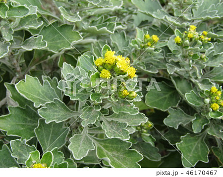 こじま花の買い花畑のイソギクの黄色い蕾 46170467