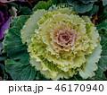 花 キャベツ フラワーの写真 46170940