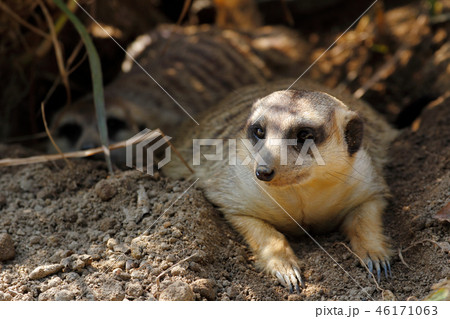 Meerkat (Suricata suricatta) 46171063