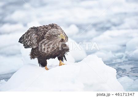 流氷の上のオジロワシ(北海道・羅臼) 46171347