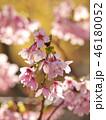 春の陽光を浴びる桜の花びら 46180052