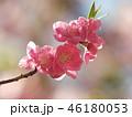 春の陽光と桜の花 46180053