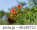 ノウゼンカズラ 凌霄花 のうぜんかずらの写真 46180721