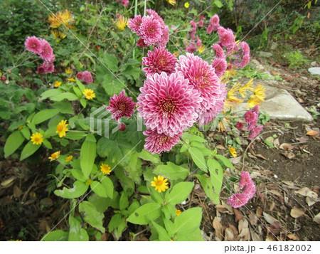 ダリアの花のような桃色の菊の花 46182002