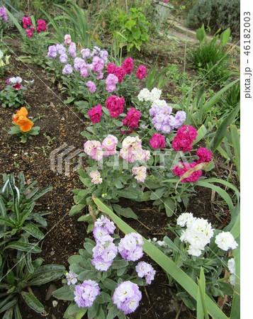 冬の房総南房総を飾るストックの白色と桃色の花 46182003