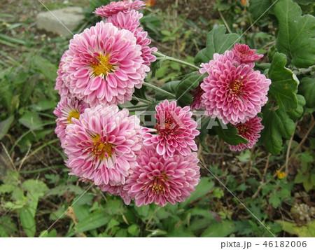 ダリアの花のような桃色の菊の花 46182006