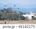 オナガガモ カモ 野鳥の写真 46182275