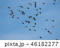 オナガガモ カモ 野鳥の写真 46182277