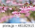 花 さくら サクラの写真 46182915