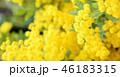 ふわふわミモザの花びら、満開、クローズアップ 46183315