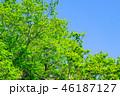 新緑 若葉 木の写真 46187127