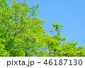 新緑 若葉 木の写真 46187130