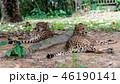 チーター 動物園 ネコ科の写真 46190141
