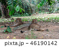 チーター 動物園 ネコ科の写真 46190142